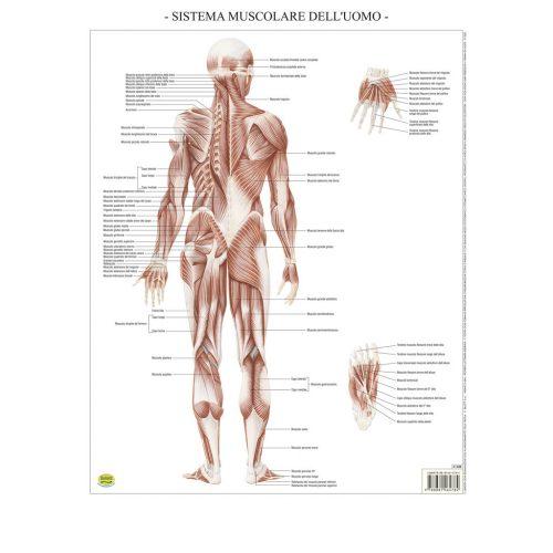 Sistema muscolare - Belletti Editore BS37P