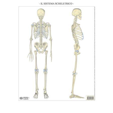 Sistema scheletrico - Belletti Editore BS38M