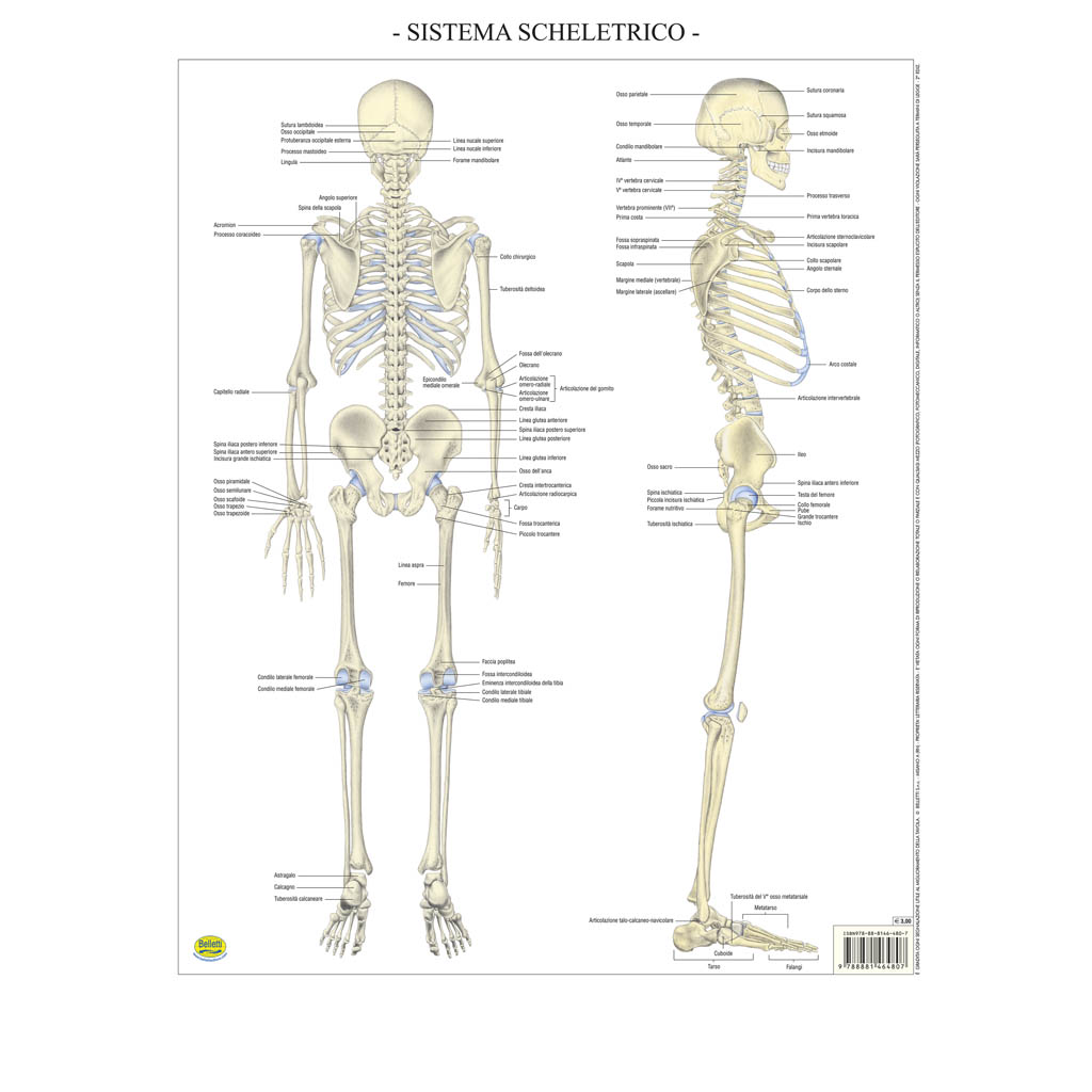 Sistema scheletrico - Belletti Editore BS38P