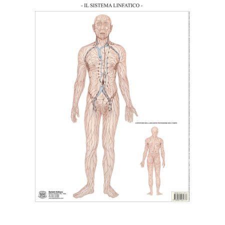 Sistema linfatico muta - Belletti Editore BS41M
