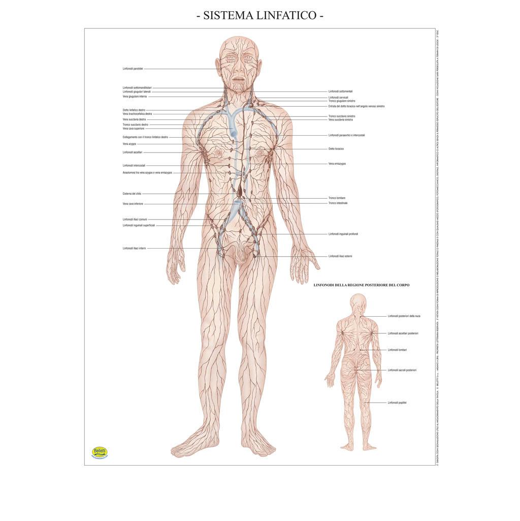 Sistema linfatico - Belletti Editore BS41P