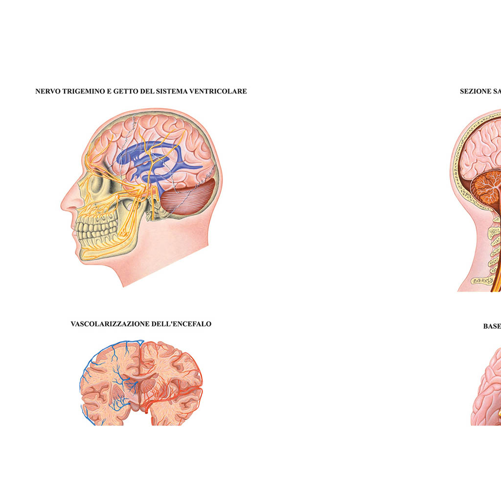 Sistema nervoso muta - Belletti Editore BS42M