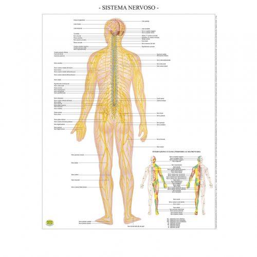 Sistema nervoso - Belletti Editore BS42P