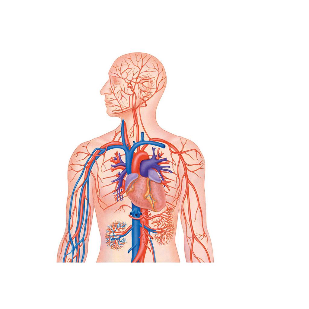 Sistema vascolare muta - Belletti Editore BS43M