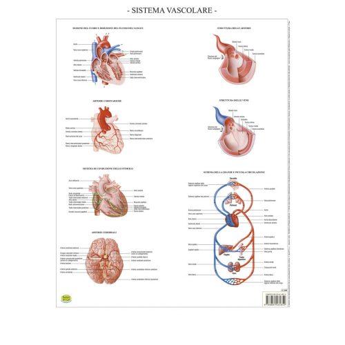 Sistema vascolare - Belletti Editore BS43P