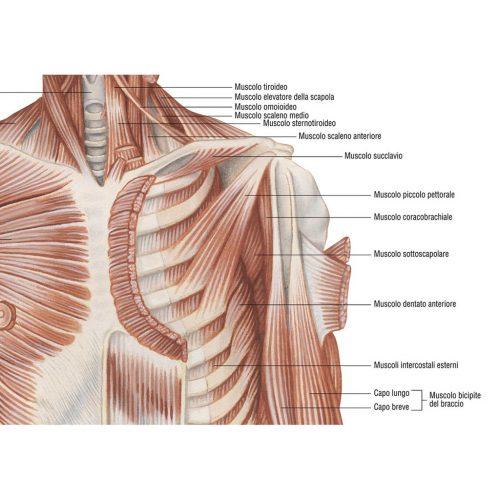 Sistema muscolare - Belletti Editore MS37PL