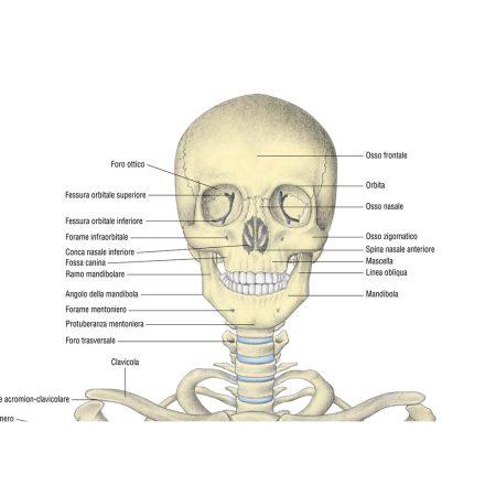 Sistema scheletrico - Belletti Editore MS38PL