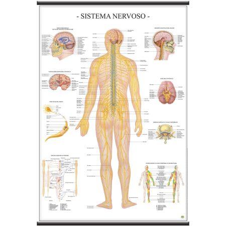 Sistema nervoso - Belletti Editore MS42PL