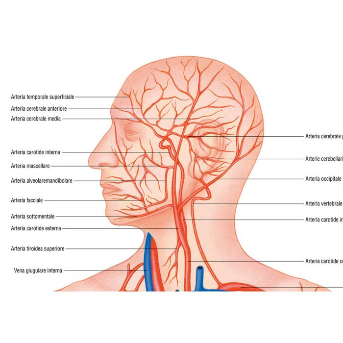 Sistema vascolare - Belletti Editore MS43PL