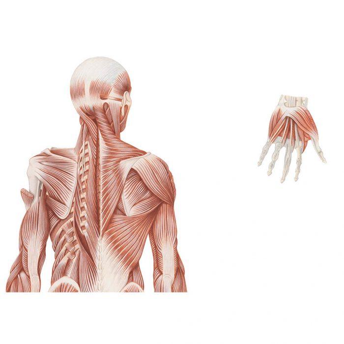 Sistema muscolare muta - Belletti Editore BS37M